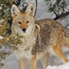 Coyote in snow for web 2