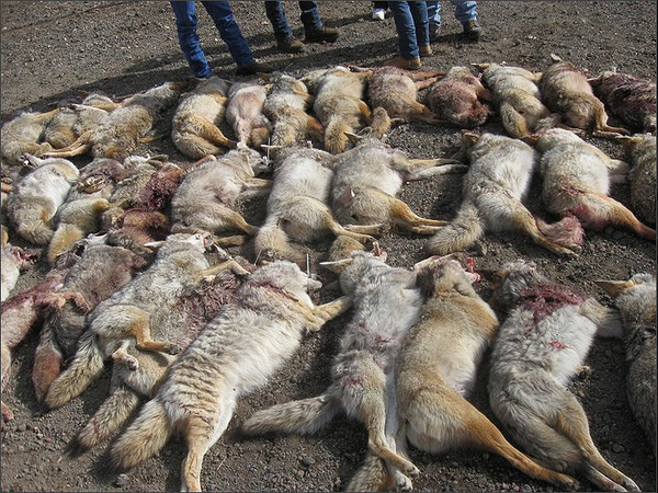 CA Adin CoyoteDrive photo dead coyotes (2)