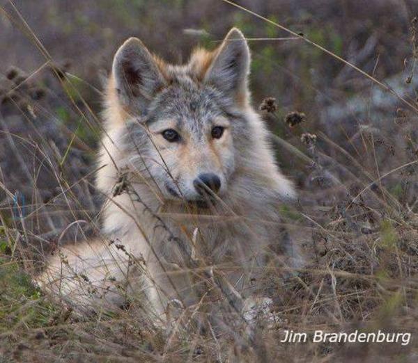 Wolf in grass Jim Brandenburg