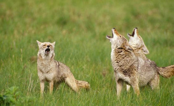 Coyote trio howling 2