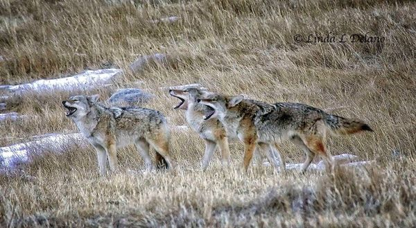 Coyotes_3Howling_LindaDelano