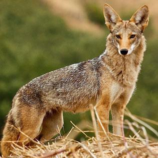 Coyote San Fran Janet Kessler 2