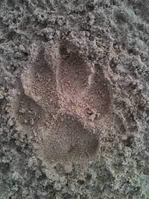 Coyote Track 2